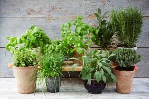 Bylinky můžete pěstovat i v bytě - ilustrační obrázek, zdroj