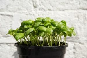 Bazalka, nejoblíbenější bylinka do salátů - ilustrační obrázek, zdroj