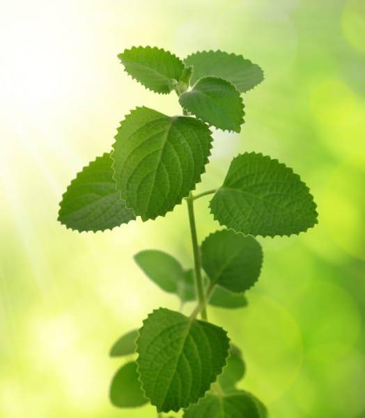 Rýmovník zelená rostlina